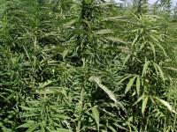 Система за производство на синтетична дрога и мини ферми за коноп открити при спецоперация в Плевенско