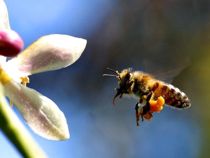 На вниманието на пчеларите в Плевенско!