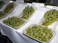 Открит ден на десертното и виненото грозде организират днес в ИЛВ – Плевен