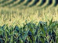 Третират площи с царевица в землището на град Плевен срещу плевели