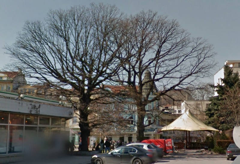 Вековно дърво в центъра на Плевен застрашено от унищожаване