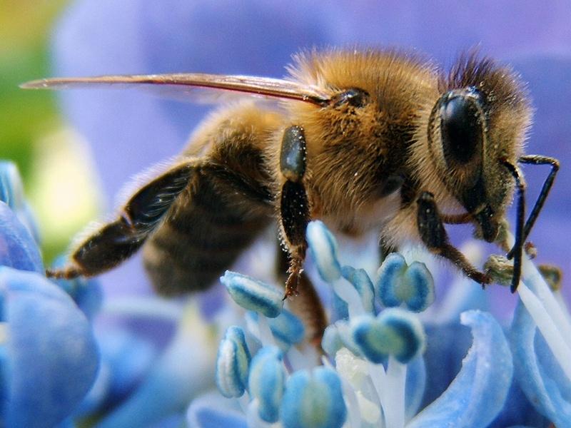 Предупреждават пчеларите и животновъдите в Пордим за предстоящо третиране на пшеницата и рапицата