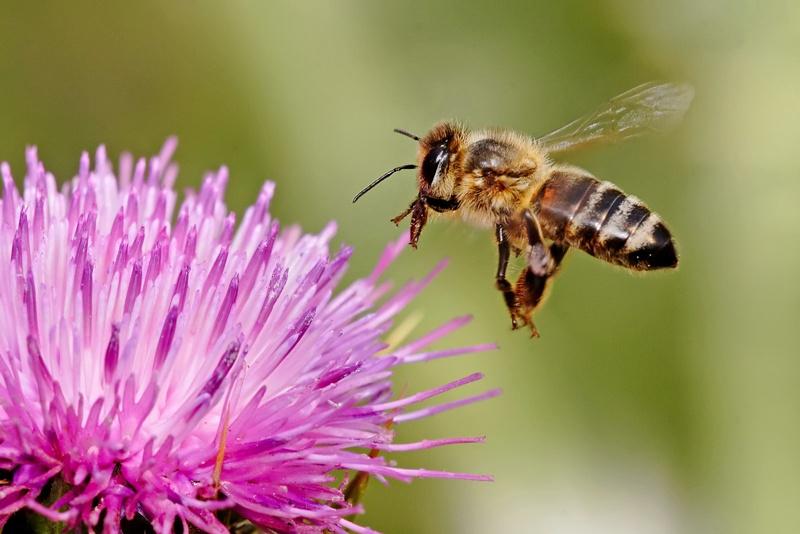 Предупреждават пчеларите в Плевенско за предстоящо третиране на растения