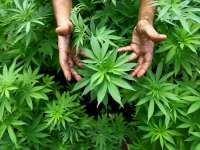 Близо 100 кила марихуана иззе Полицията в Староселци