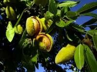 16 февруари е Денят на бадема!