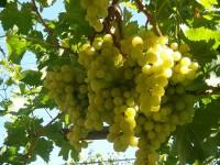 На празник на гроздето канят в село Лозица