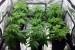 Разбиха две оранжерии за марихуана в Крета