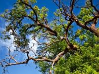 Движението по част от плевенски улици ще е ограничено заради кастрене на дървета