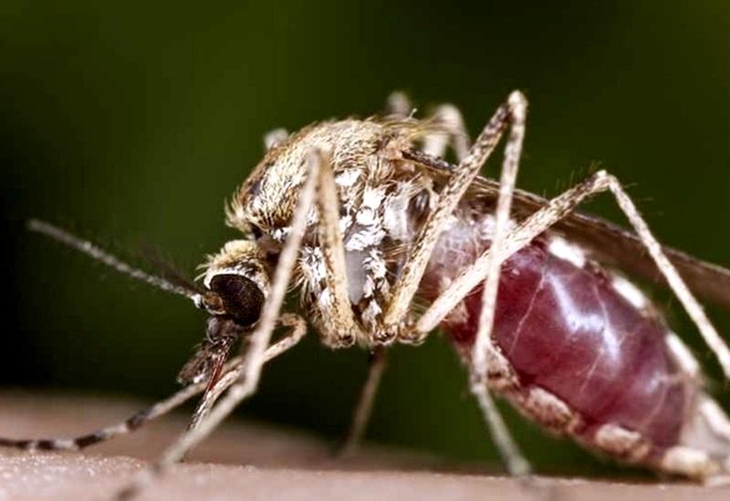 В Долна Митрополия пръскат срещу комари днес и утре