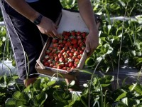 Търсят се берачи на ягоди за Испания