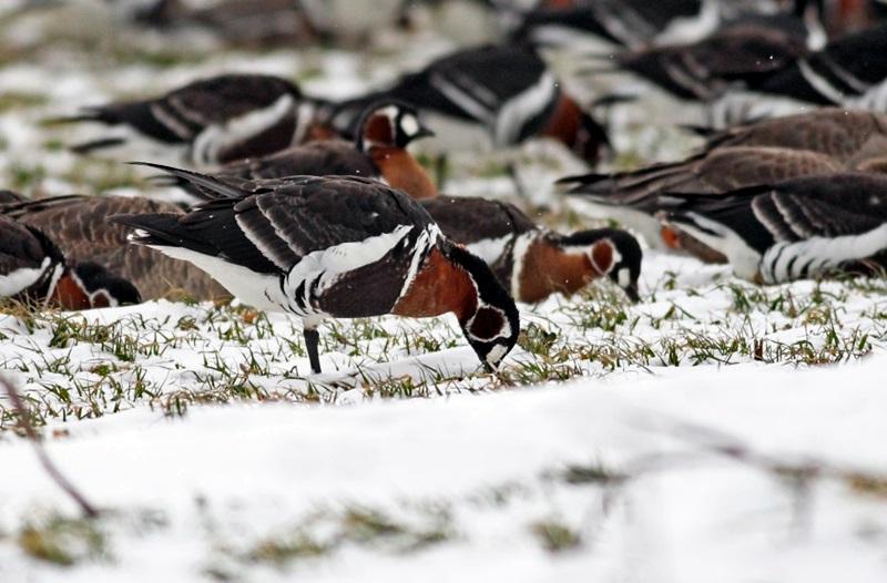 Приключи Среднозимното преброяване на водолюбивите птици на територията на РИОСВ – Плевен