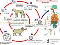 Два случая на кучешка тения, три – на скарлатина и един на вирусен хепатит са регистрирани в Плевенско