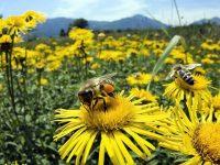 Предупреждават пчеларите от Пордим за предстоящо третиране на посеви