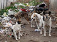 Община Червен бряг започна акция по кастриране на бездомни кучета