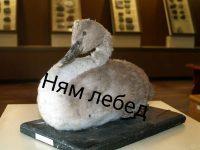 Немият лебед и гмурецът са Видове на месец декември в РИМ – Плевен