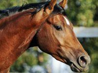 Плевенски полицаи разкриха кражба на коне