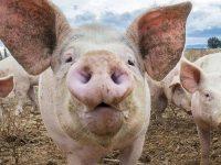 """Областна дирекция """"Земеделие"""" – Плевен стартира проверки заради опасността от чума по свинете"""