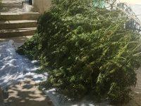 Домашна оранжерия за отглеждане на канабис разкриха криминалисти от Плевен