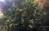 Мини плантация за канабис е открита в Плевенско