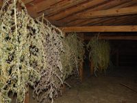 Прокуратурата в Червен бряг иска задържане под стража на двама, отглеждали марихуана