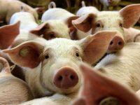 3.7 млн. лв. се предоставят за предотвратяване разпространението на Африканска чума по свинете