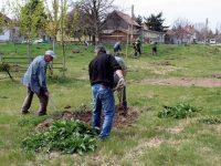 350 фиданки засадиха в Кнежа по повод Седмицата на гората