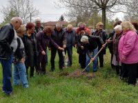 Декоративни дръвчета засадиха от Общинската организация на инвалидите в Пордим