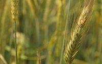 Обработват площи в Плевенско с пшеница срещу гъбични болести
