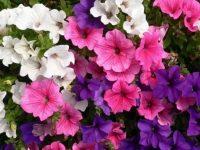 Над 800 корена цветя дарява Екопак на училища и детски градини в Плевен