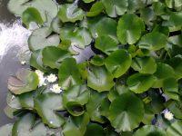 """Водните лилии в """"Кайлъка"""" разцъфтяха"""