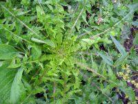 Третират с препарат срещу житни и широколистни плевели около жп линии в област Плевен