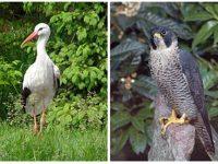 Екоинспекторите спасиха намерени в безпомощно състояние птици от защитени видове в Плевен и Кнежа
