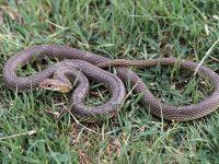 Отново сигнал за улавяне на змия в Плевен