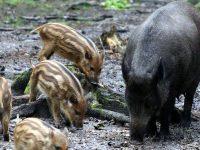 """Контролиран е достъпът до ПП """"Персина"""" заради заразата от африканска чума по свинете"""
