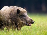 Дават по 150 лв. на ловните дружинки за отстрел на диви прасета край огнищата с африканска чума