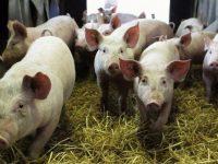 В село Брест е открито ново огнище на африканска чума по свинете
