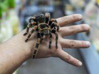 Огнеборците съдействаха за улавяне на тарантула в плевенско общежитие