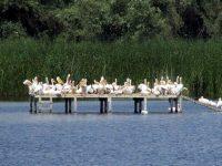 """30 малки къдроглави пеликанчета и рекорден брой двойки в новата колония на вида в ПП """"Персина"""""""
