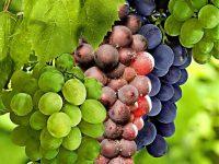 Празник на гроздето организират днес в село Лозица