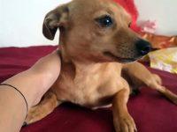 """Куче от породата пясъчен пинчер е изгубено в """"Сторгозия"""""""