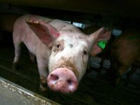В село в Плевенско санкционираха стопанин за отглеждане на прасета