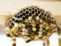 Екип на РСПБЗН – Плевен отстрани гнездо на оси от покрива на сграда