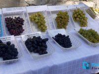 По-нисък добив на грозде, но по-качествена реколта се очаква тази година в Плевенско