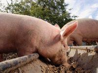 Няма нови случаи на африканска чума при домашните прасета в област Плевен