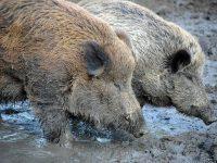 Удължава се срокът за групово ловуване на дива свиня