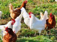 Стартира информационна кампания заради опасност от птичи грип
