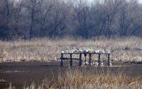 50 пеликани припознаха платформите на о-в Персин за свой дом