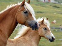 За часове полицаи от РУ – Кнежа разкриха крадец на кобила