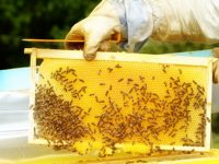 Важно за пчеларите! От днес третират наземно пшеница в землището на Плевен