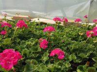 """Разнообразие от летни цветя и подправки на атрактивни цени предлага """"Паркстрой"""""""
